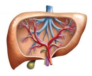 Bild: Fettstoffwechsel Leber